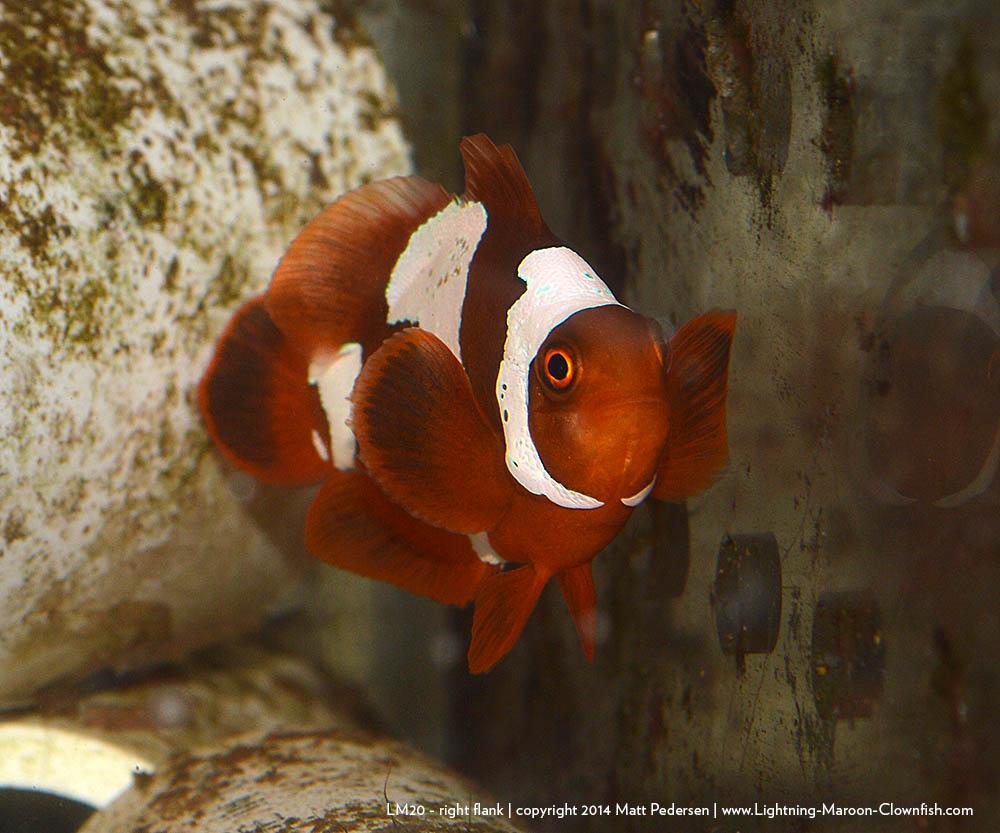 BZA Lightning Maroon Clownfish