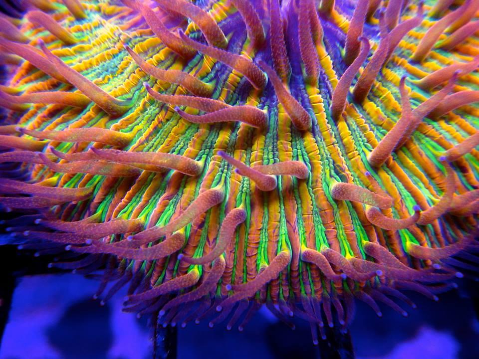 ReefKoi Corals Rainbow Plate
