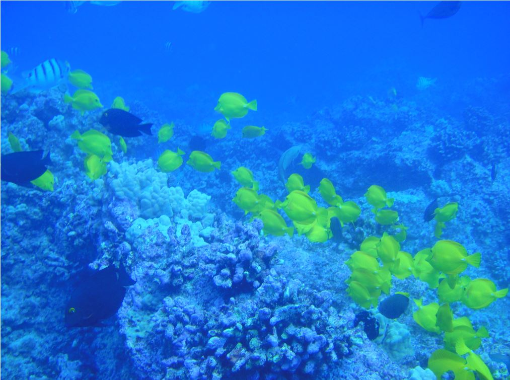 Swarming Reef Fish Hawaii
