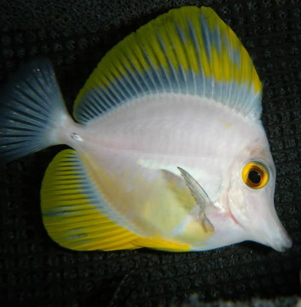 White Yellow Tang