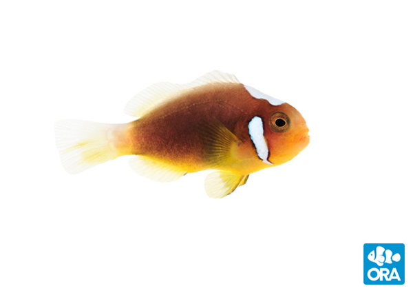 ORA White Bonnet Clownfish