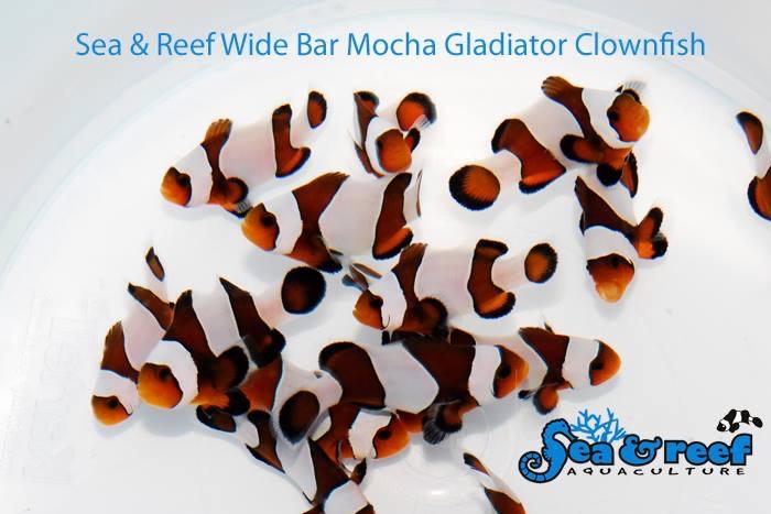 Sea & Reef Wide Bar Mocha Gladiator Clownfish Group