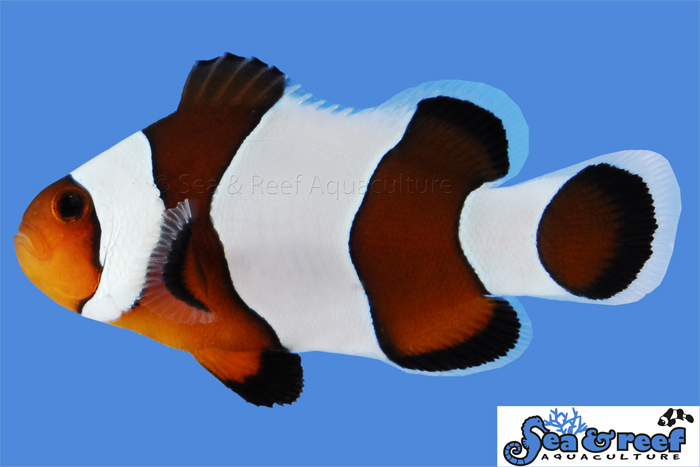 Sea & Reef Wide Bar Mocha Gladiator Clownfish