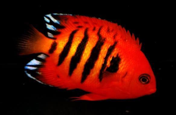 Silver Bullet Flame Angelfish