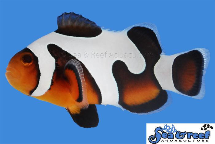 MochaVinci Clownfish