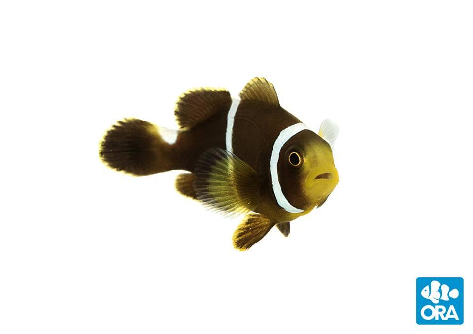 ORA Hybrid Mystery Clownfish