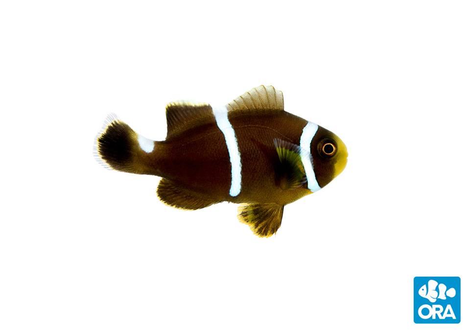 ORA Mystery Hybrid Clownfish