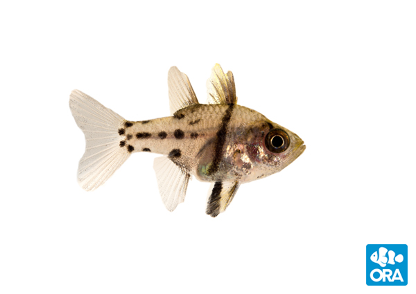 ORA Orbic Cardinalfish