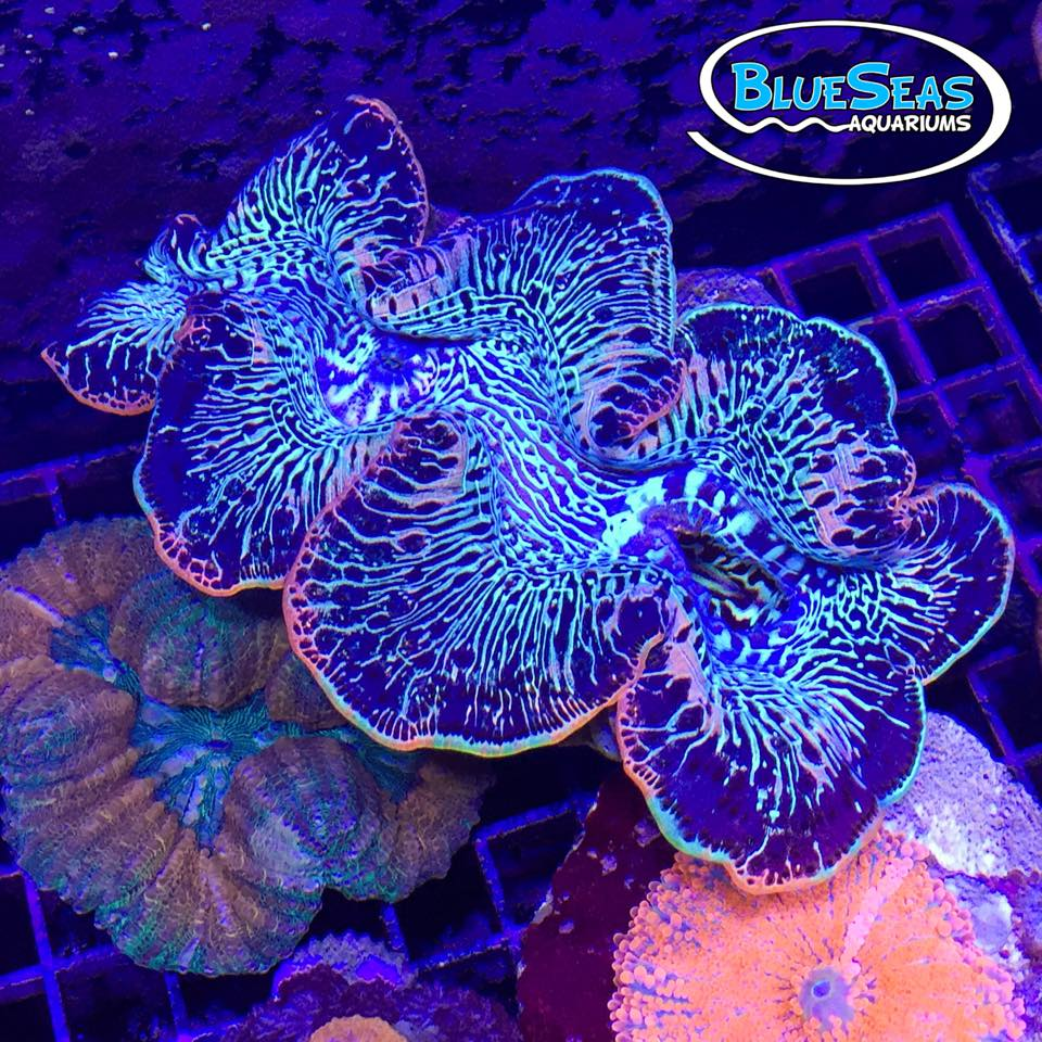 Blue Seas Aquariums Maxima Clam