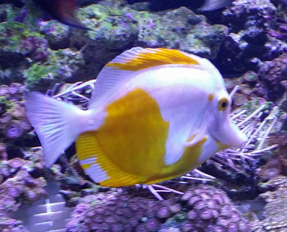 Frost Yellow Tang Neptune's Reef