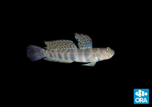 ORA Pink Spotted Watchman Goby