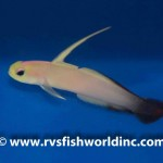 Abberant Firefish Goby