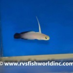 Black Firefish Goby