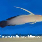 Black Red Firefish Goby