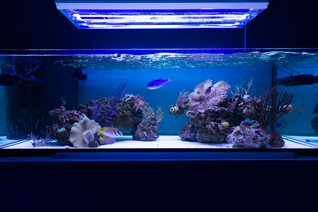 2 x Giesemann x Actinic Blue & 1 x Aquablue Coral & 1 x Super Purple