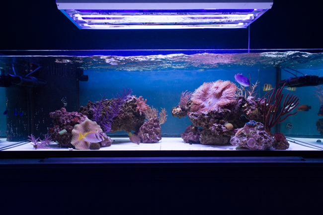 2 x Giesemann Aquablue Coral & 2x Super Purple