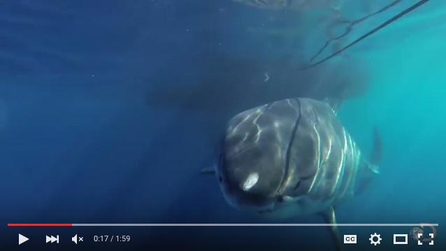 Deep-Blue-Shark