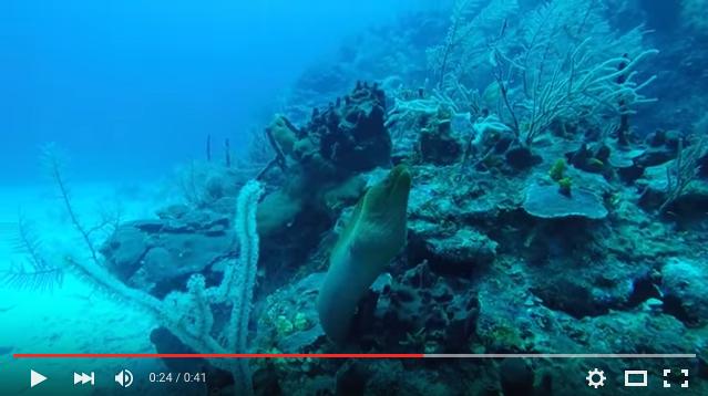 Green Moray Eel, San Pedro Belize