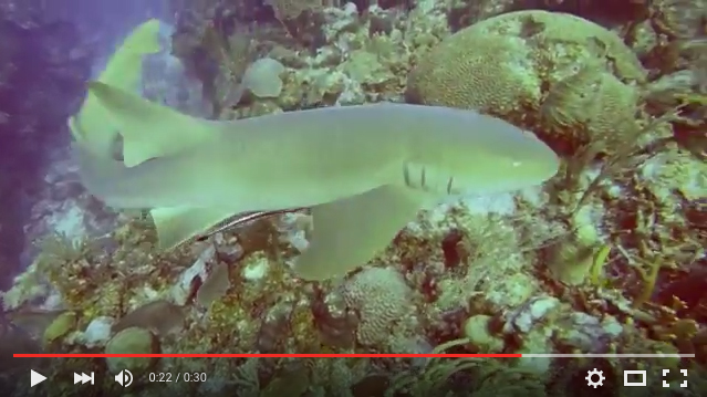 Nurse Shark, San Pedro Belize