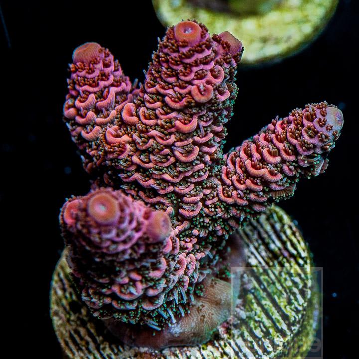Unique Corals Indo Pink Acropora millepora