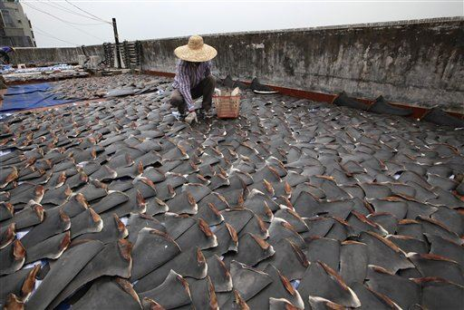 A worker collects pieces of shark fins dried on the rooftop of a factory building in Hong Kong Thursday, Jan. 3, 2013. For centuries, shark fin, usually served as soup, has been a coveted delicacy in Chinese cooking, extolled for its supposed ability to boost sexual potency, enhance skin quality, increase one's energy, prevent heart diseases and lower cholesterol. (AP Photo/Kin Cheung)