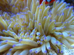 Sebae-Anemone-Heteractis-malu