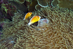 leathery-anemone