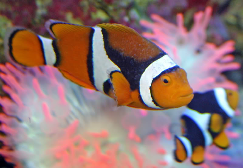 Clownfish with cryptocaryon