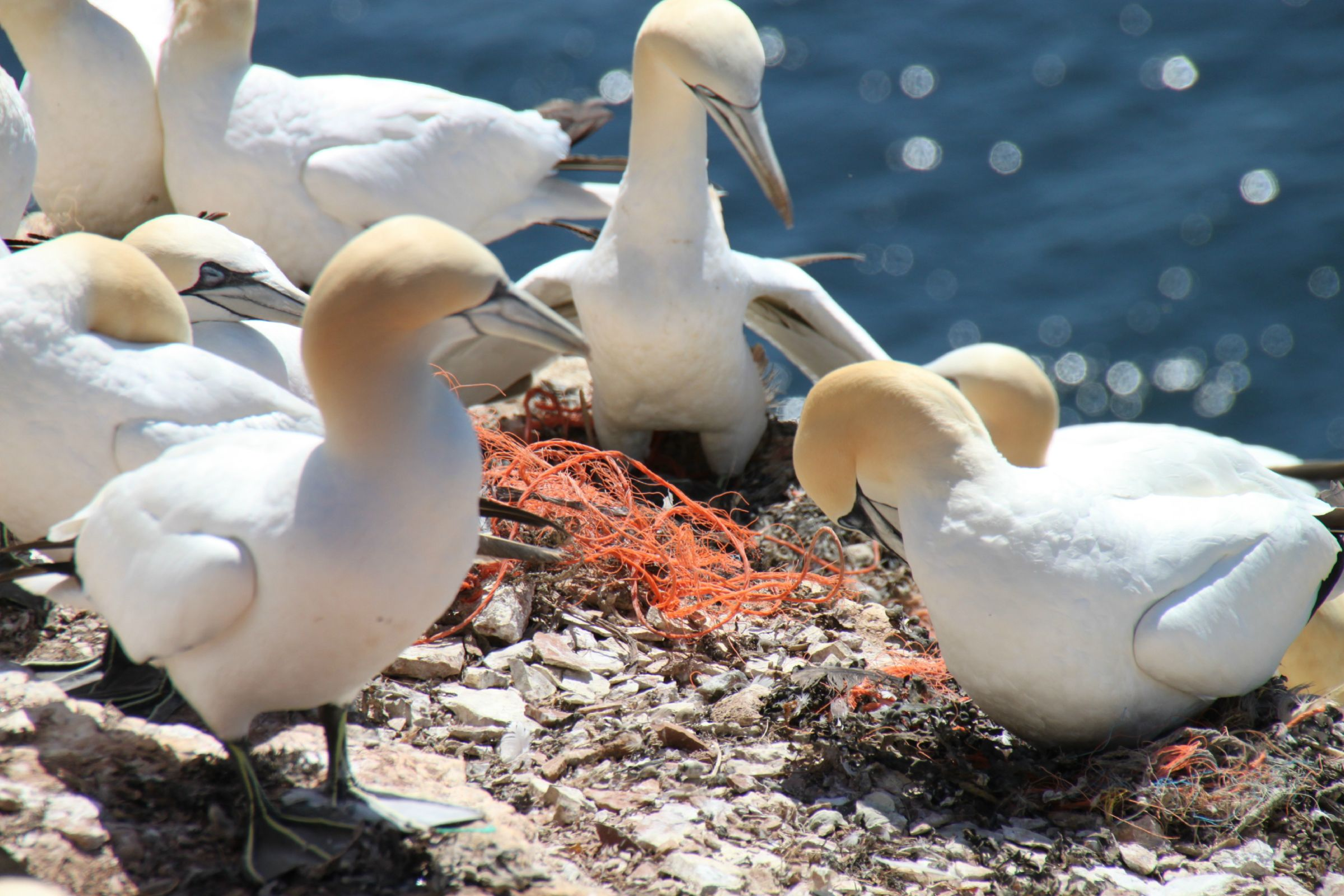 Northern gannets nesting in the North Sea. AWI