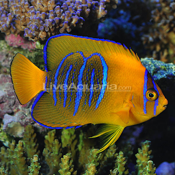 Clarion Angelfish - Tank Bred
