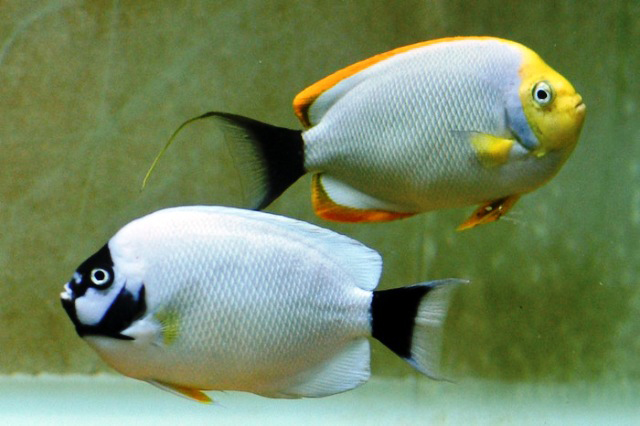 Genicanthus personatus - Masked Angelfish