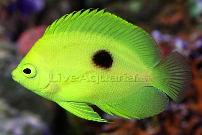 narcosis angelfish