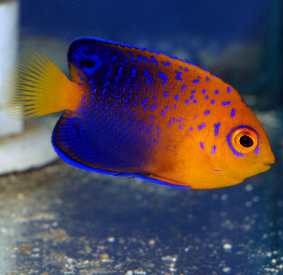 top ten ish of the most expensive tropical fish aquanerd