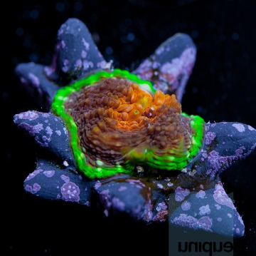"ReefGen ""Spectrum"" Acanthastrea echinata"