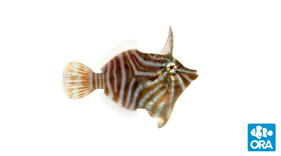 Radial Filefish (Acreichthys radiatus)