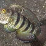 Amblygobius sphynx