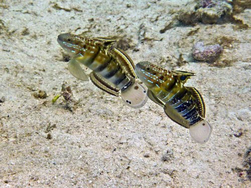Bullet-Goby-Male-left-female-right