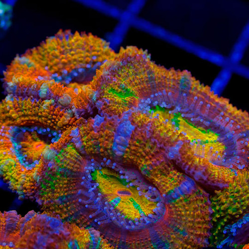 Combo Joe's Retina Blaster and Fukushima Acan