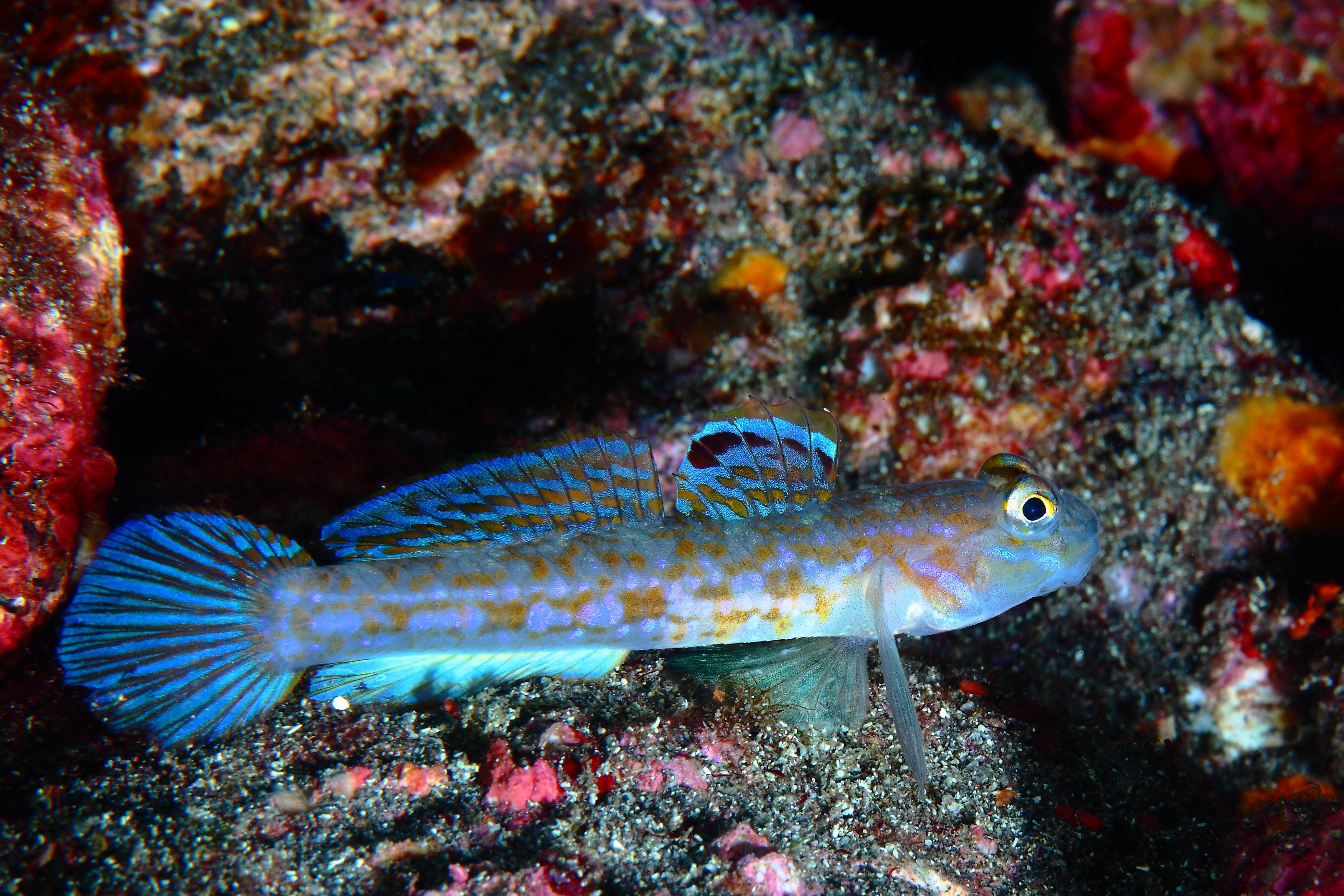 Istigobius hoshinonis
