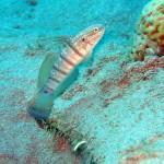 Amblygobius albimaculatus