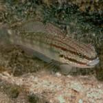 Amblygobius buanensis