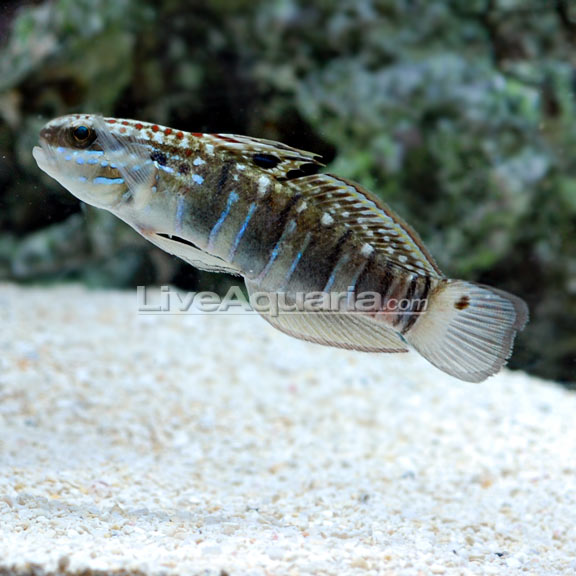 lg-71107-goby