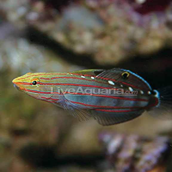 lg-71458-court-jester-goby
