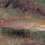 Photo by: Reefs2Go - Amblygobius decussatus