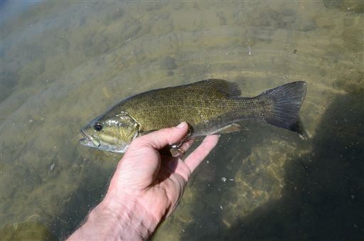 A new study found 85% of male smallmouth bass in the Northeast are undergoing a sex change. (AP Photo/Idaho Statesman, Roger Phillips)