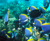 MASNA Press Release: Palette Surgeonfish Aquaculture and Lionfish Education