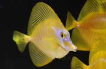 Aquacultered Yellow Tangs