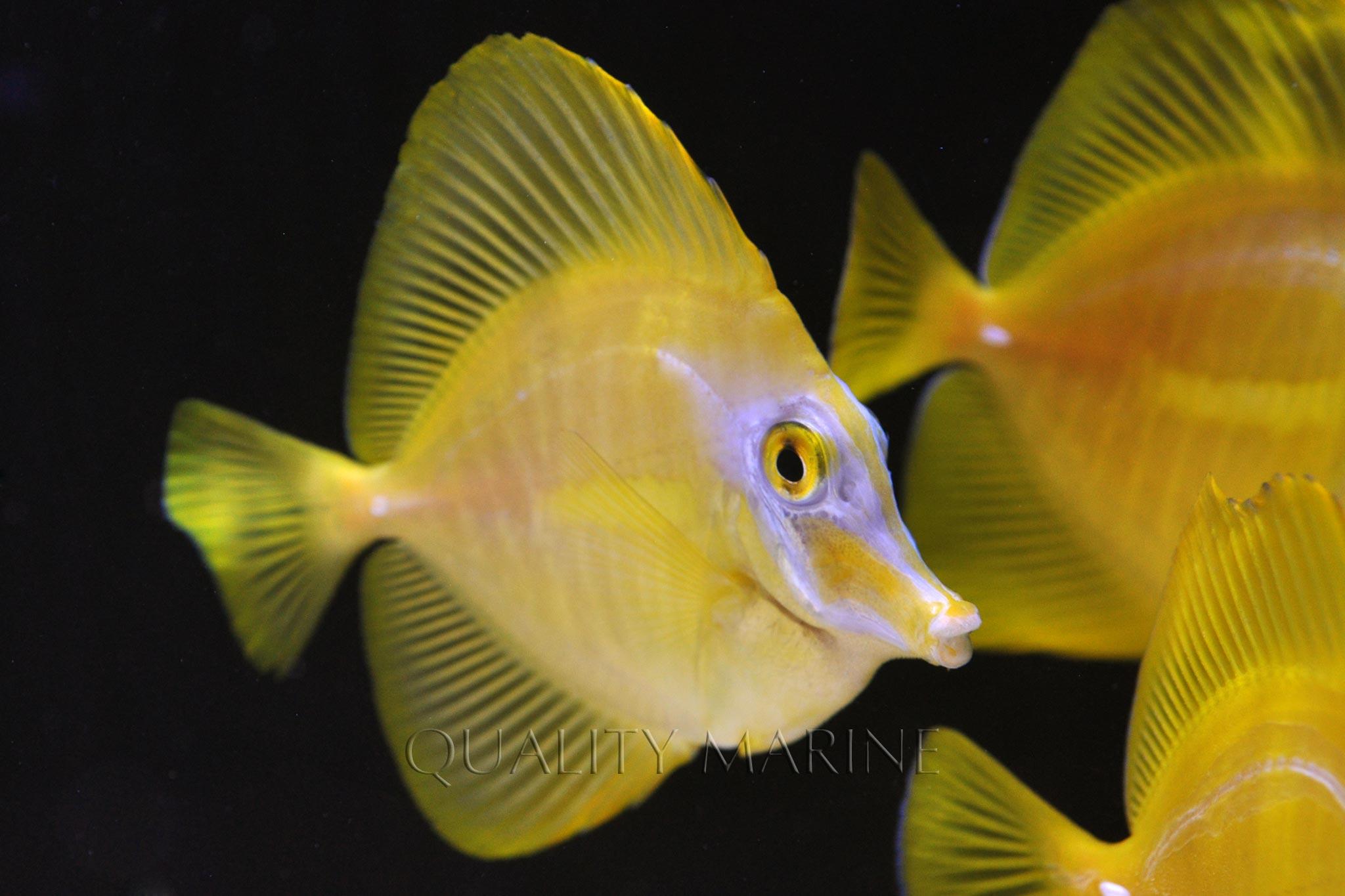 Aquacultered Yellow Tangs