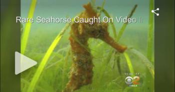 Rare-Seahorse