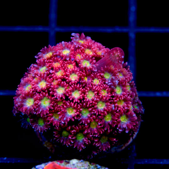 Featured coral of the week 342016 joes passionfruit goni aquanerd also commonly know as the flowerpot coral or daisy coral goniopora species are generally considered difficult to moderately difficult to keep alive in mightylinksfo